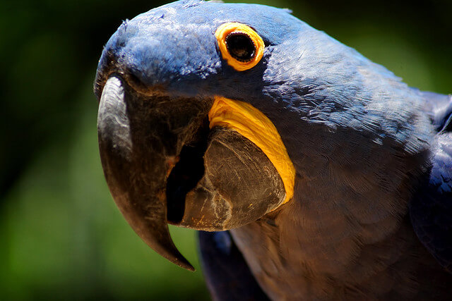 Close up photograph of a blue macaw parrot with yellow around its eyes and beak