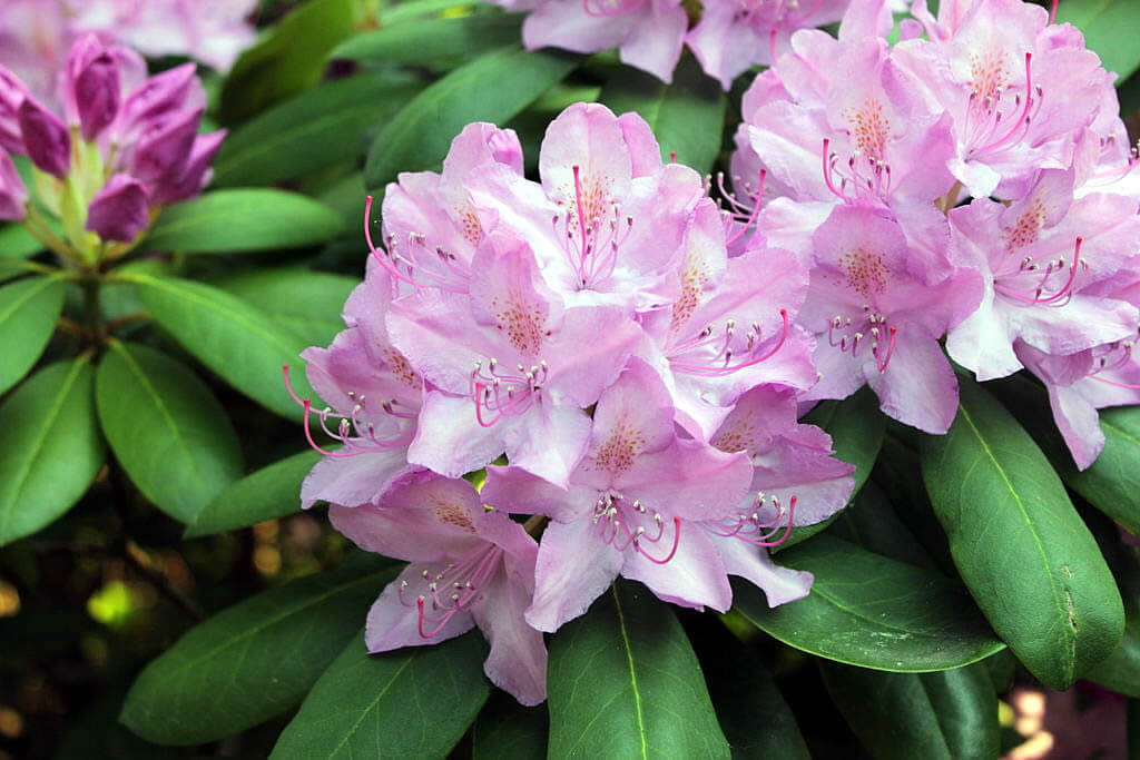 Photo of pale pink rhododendron flowers
